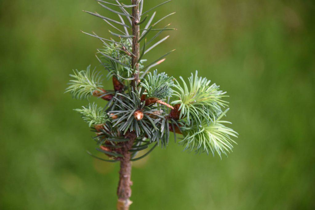 Douglas fir broom graft 'Sitting Pretty' with first year push!