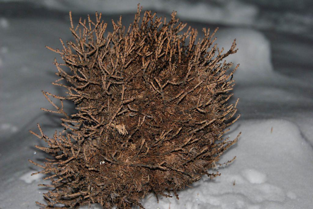 Larix laricina 'Chia' broom, harvested in January 2015