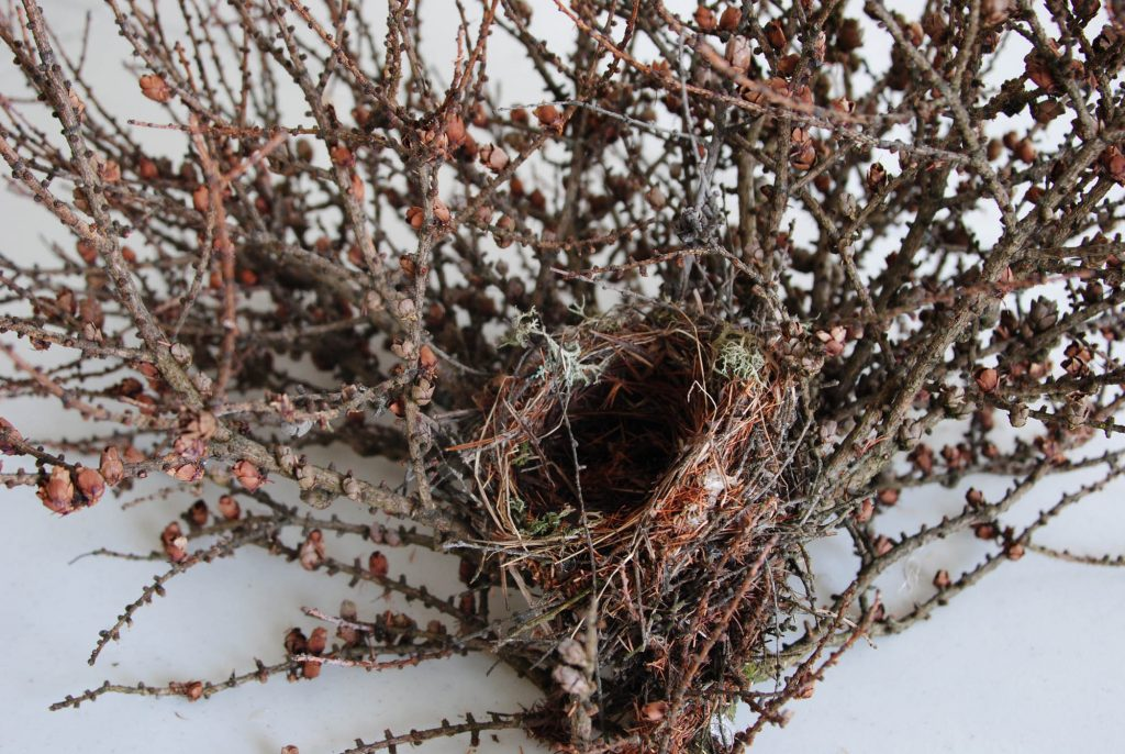 Larix laricina 'Cone-ucopia' new broom with a bird's nest and cones