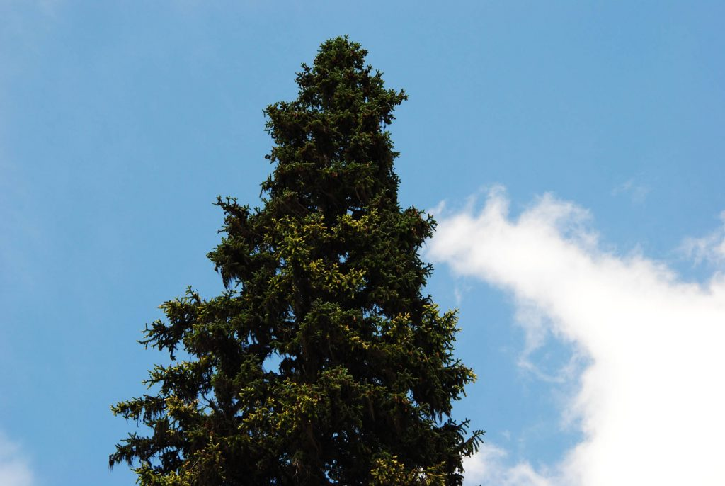 Mature Picea engelmannii spruce tree showing off splashes of creamy-white new growth.