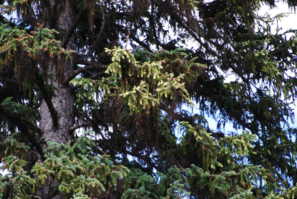 Engelman spruce branch with intense variegated growth.