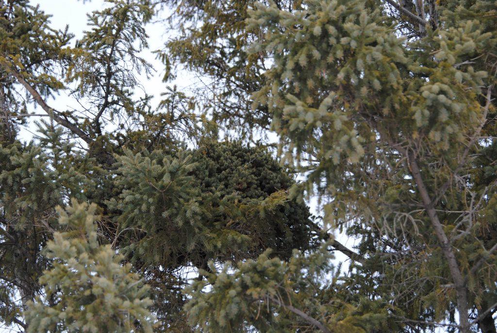 Picea glauca broom 'Tillie'
