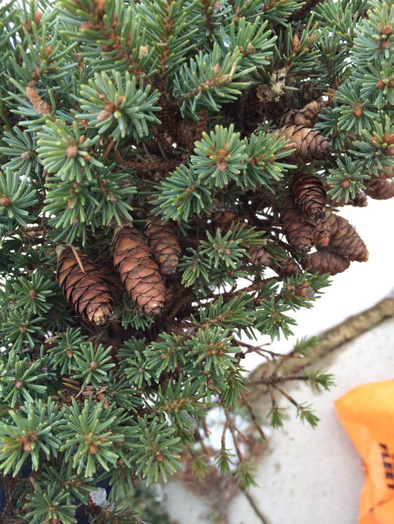 'Tillie' produces numerous cones