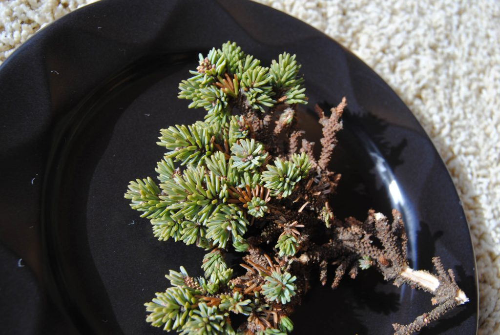 Tiny scions of black spruce broom 'MinneHaHa'