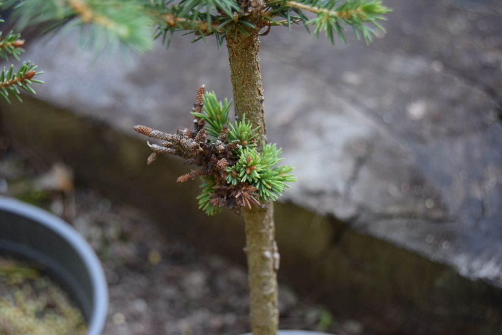 Tiny graft of miniature cultivar Picea mariana 'MinneHaHa'