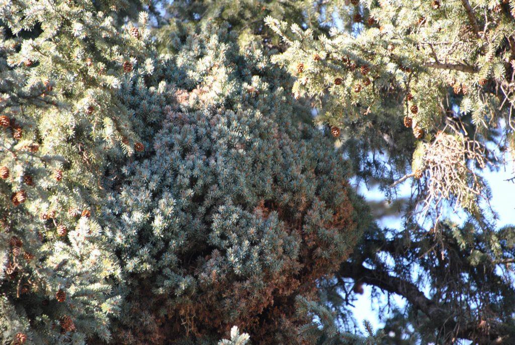 Engelmann spruce broom