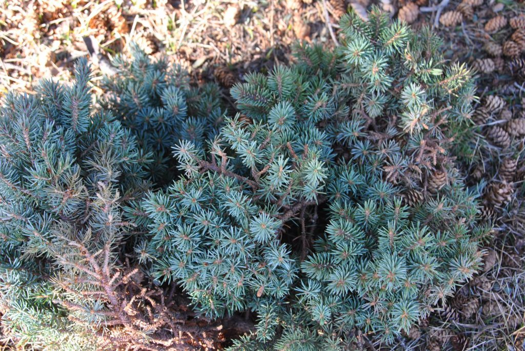 Engelmann spruce broom scions.