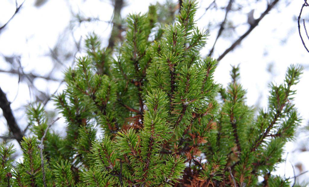 Close up of Jack pine broom 'Jackpot'