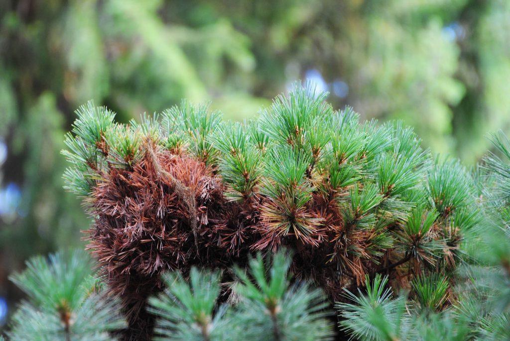 Western White pine broom, Pinus monticola 'Mini Monti'