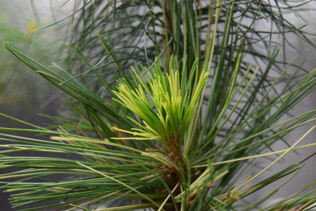Pinus monticola 'Monti's Gold' beautiful new cultivar, spring push.