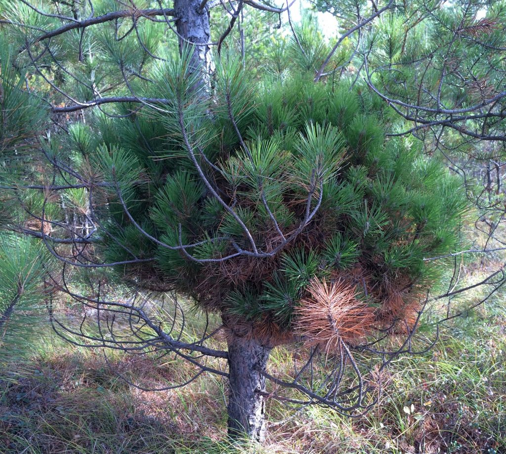 Red pine broom, 'Knee Knocker'