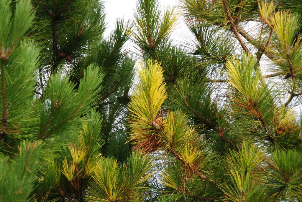 Variegated Red Pine,'Packerland'