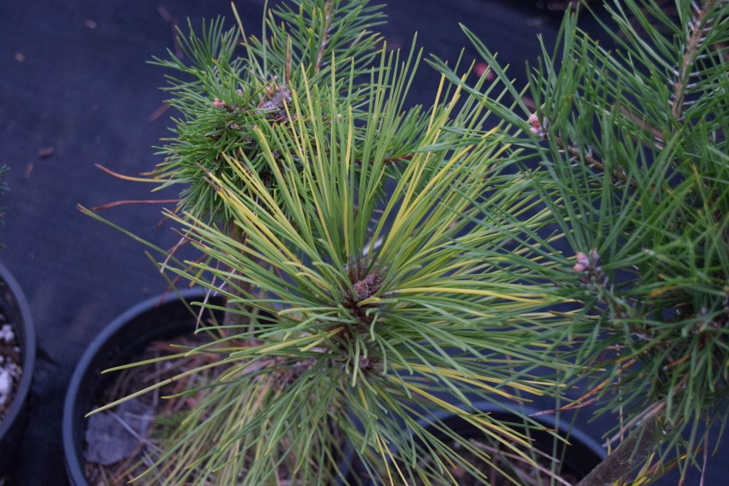 Immature Pinus resinosa 'Packerland' new graft cultivar