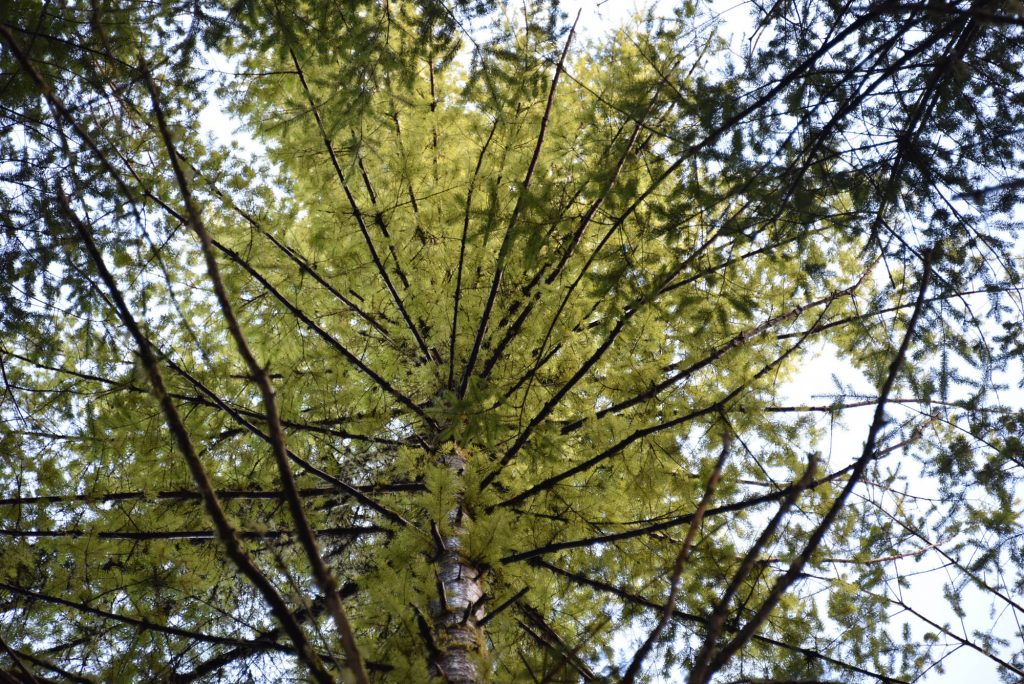 Pseudotsuga menziesii 'Cooper's Torch' from the ground.