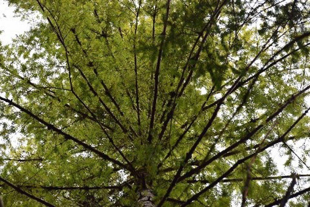 Douglas fir chance seedling 'Cooper's Torch' is an intense golden color!