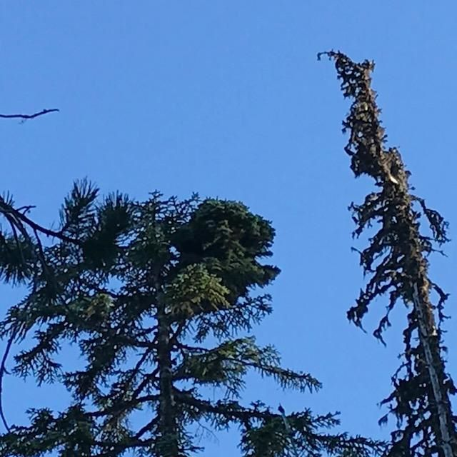 """Abies procera 'Mt. Hood Summit' high up at the """"summit"""" of the noble fir tree."""