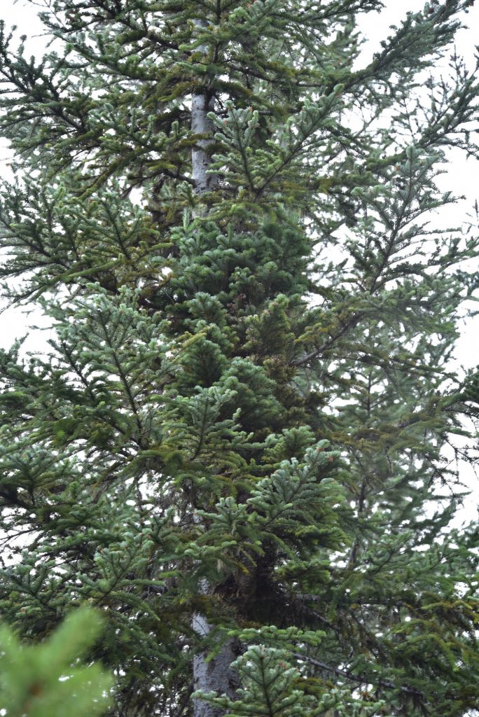 Close up of Abies amabilis 'White Pass' upright broom.