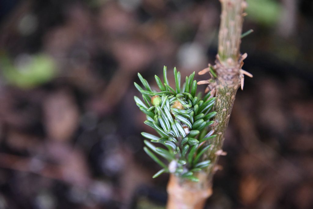 Abies amabilis 'White Pass' scion's first push in May 2019!