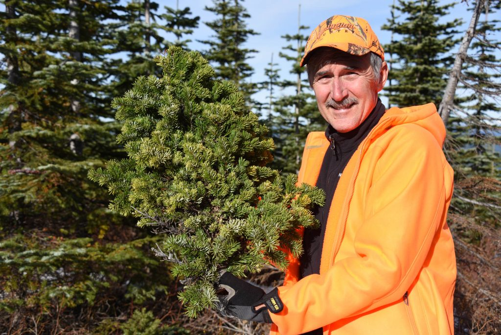 Mike holding a newly harvested branch of Abies amabilis 'Pulsar'