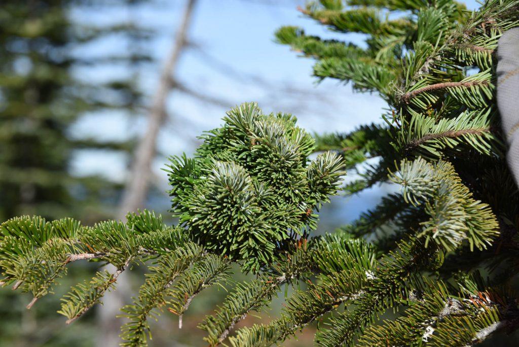 Tiny dense Abies amabilis Pacific fir broom 'Stellar'