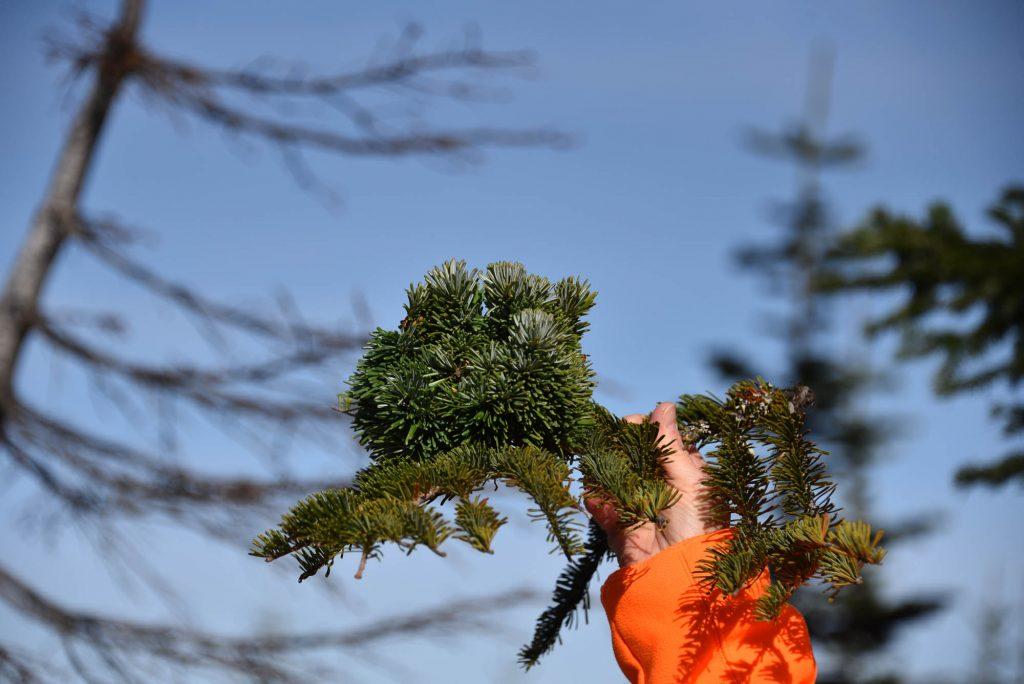 Cute little Abies amabilis Pacific fir broom 'Stellar'