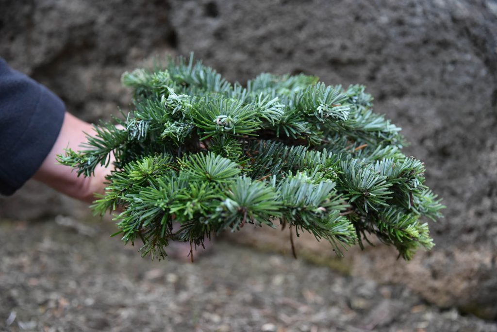 Side view of Abies amabilis Pacific fir cultivar 'Sweet 16'! Neat, sweet, and petite!