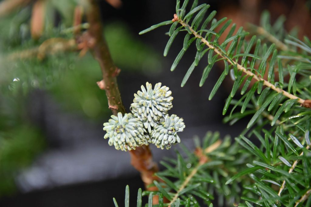 dark buds on Nobel fir new cultivar 'Mt. Hood Summit'