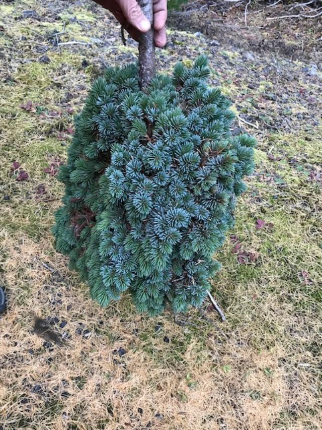 Beautiful engelman spruce broom has dense growth pattern and intense shades of blue.