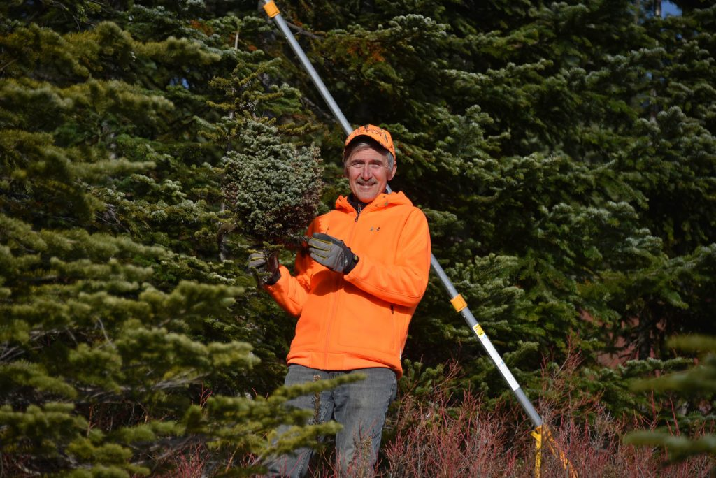 Mike harvesting Abies lasiocarpa 'Stampede Pass' broom from the struggling subalpine fir tree, November 2019.
