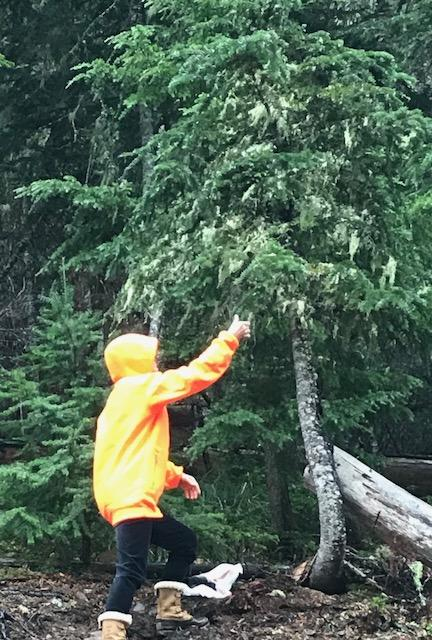 Very tiny Abies amabilis broom 'Sweet 16' is difficult to see in the tree! Cheryl harvesting!
