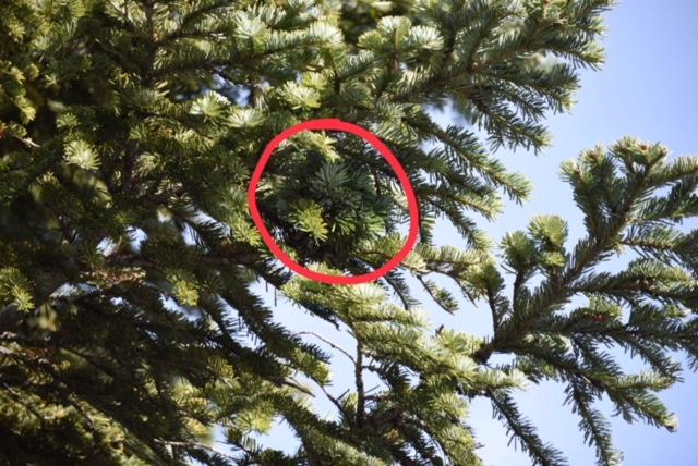 Mike spotted this tiny Pacific fir broom while out harvesting another.