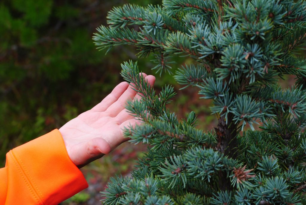Nice color, small needles and growth pattern on this Engelman spruce tree