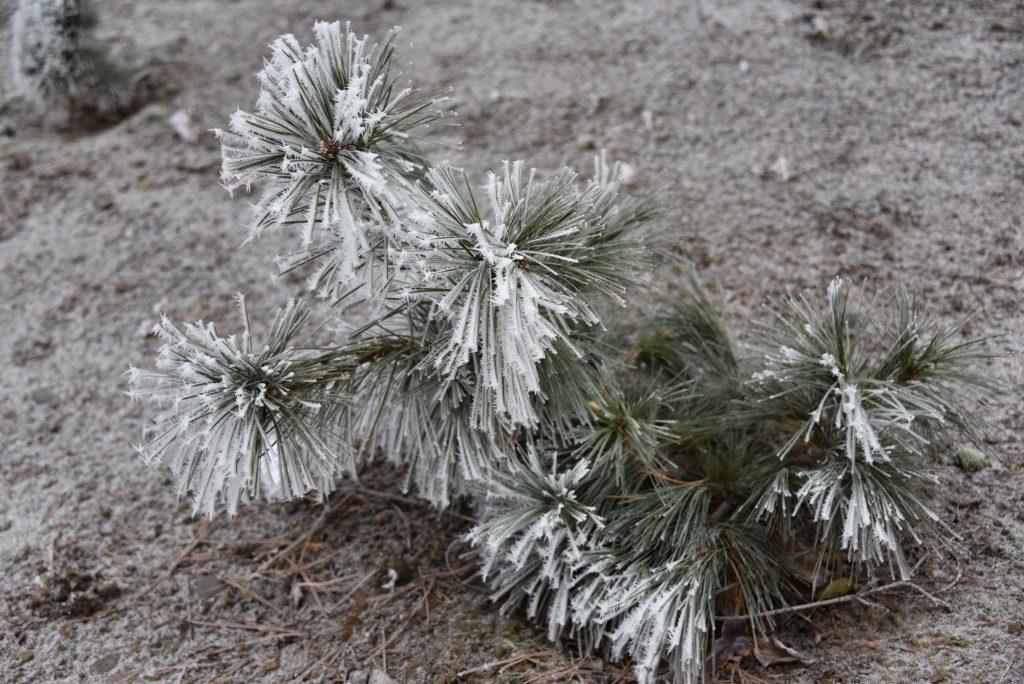 December frost 2019, white pine broom  'Nokomis'