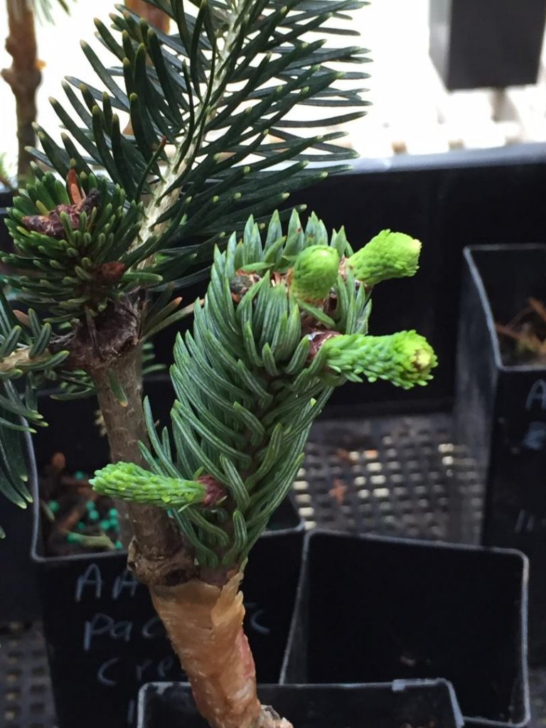 Noble fir graft 'Skunk tail' pushing!