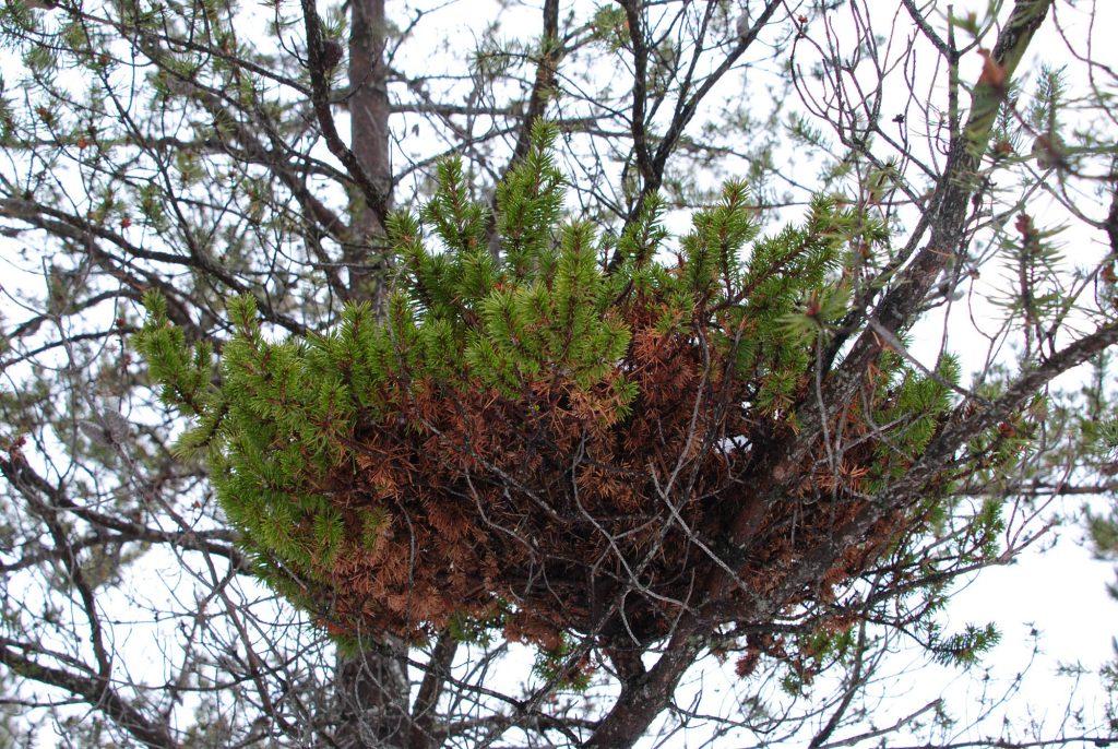 Jack pine broom 'Jackpot' in a Pinus banksiana tree in upper Michigan.