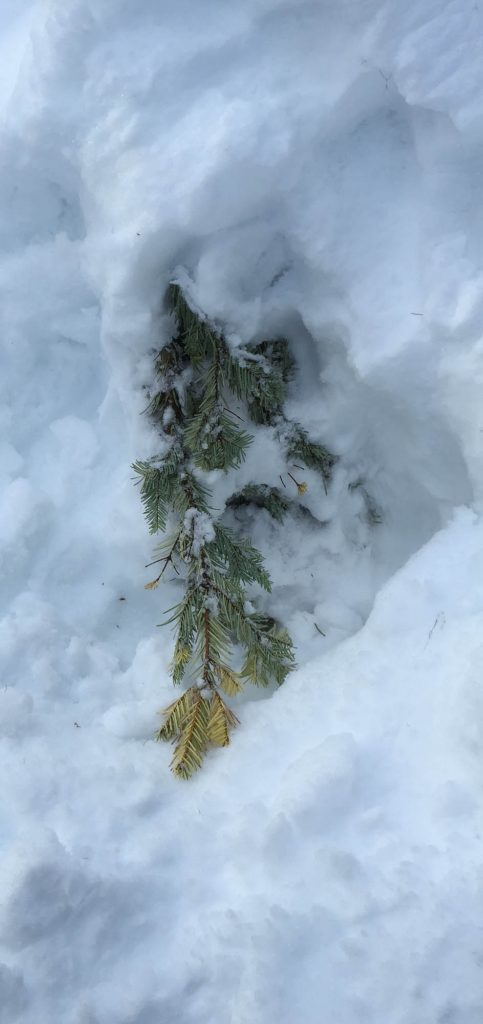 Abies grandis 'Monti's Gold' buried in snow