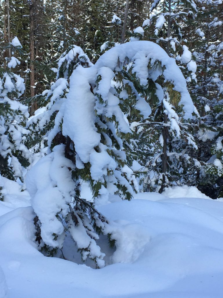 Heavy snow pulling down the top of the Pinus monticola golden variegated tree