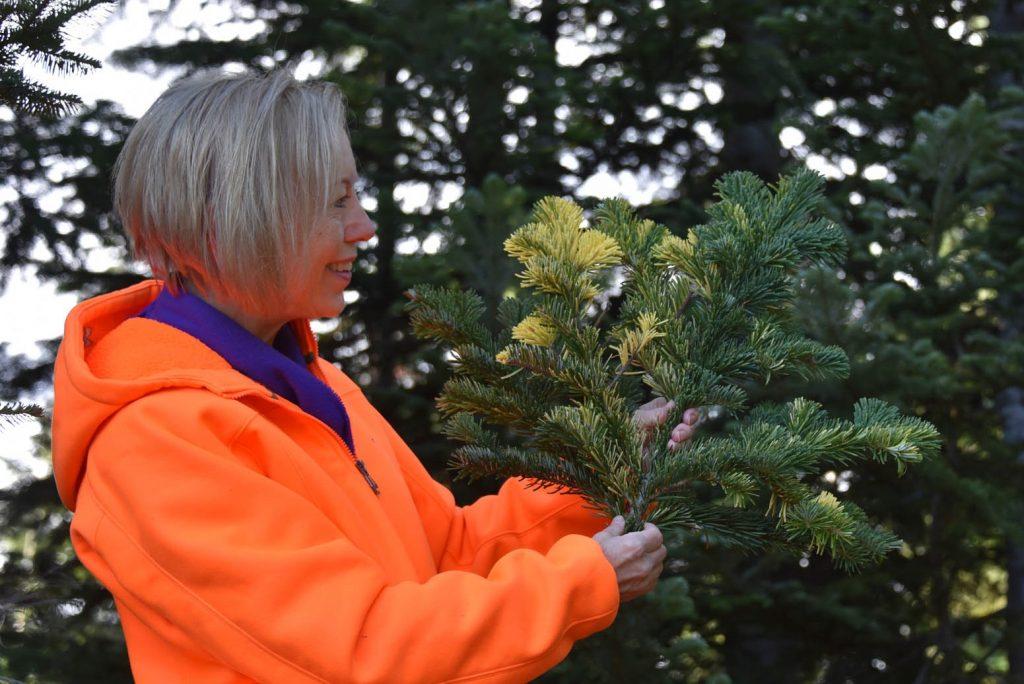Abies amabilis 'Colorific' vigorous and large variegated branch.