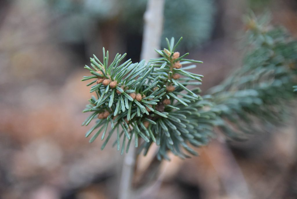 numerous buds on Abies procera new cultivar 'Anew Blue'
