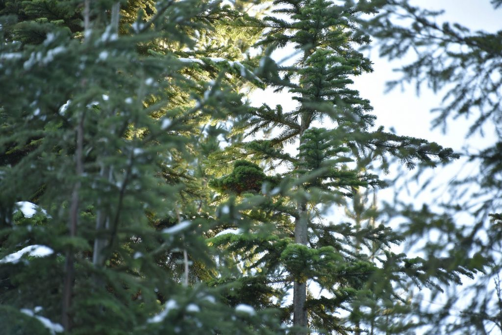 Pacific silver fir broom in the tree.