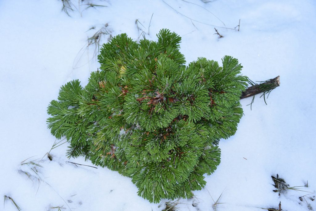 Abies amabilis 'Galaxy' broom, view from the top