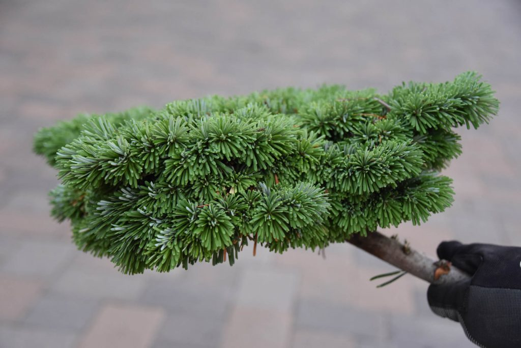 Abies amabilis 'Galaxy', showing flattened side view.