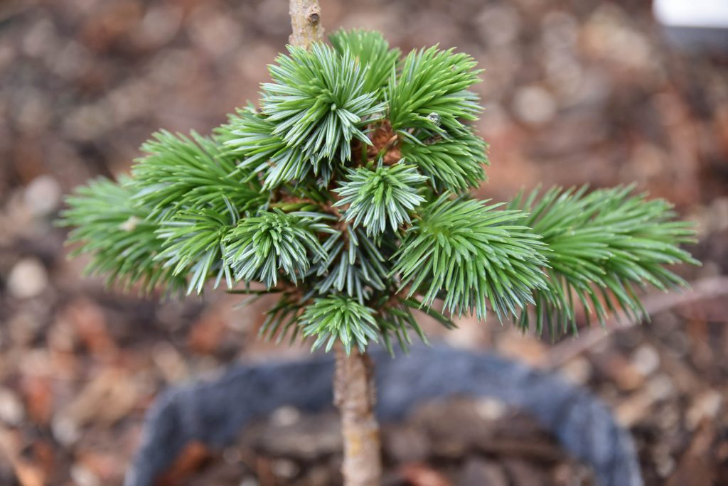 2 year old graft of new Sitka spruce cultivar 'Cliff Hanger'