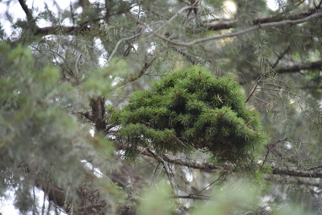 Doug fir 'Cow Pie' broom