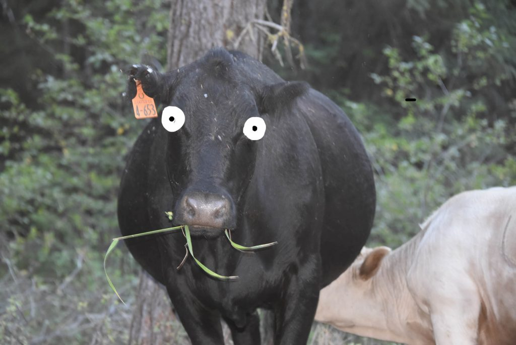 Surprise! Cascade cow!