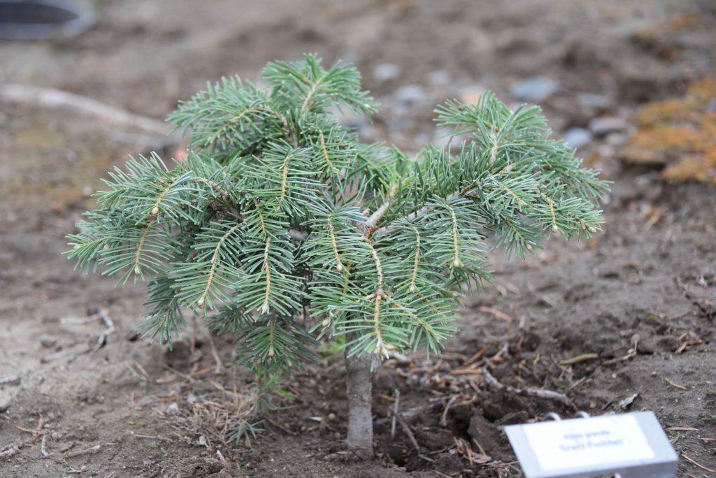 Abies grandis 'Grand Poobah' new grand fir conifer broom cultivar