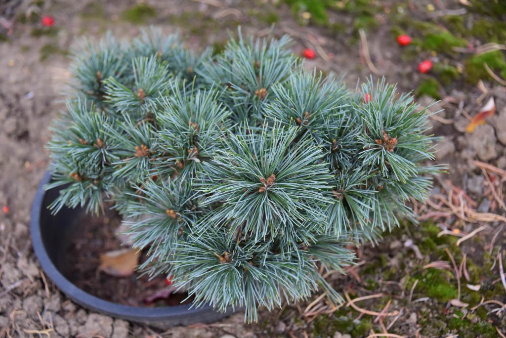 Beautiful blue Western white pine new cultivar 'Mini Monti'