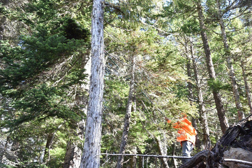 Abies amabilis 'Rock Star' conifer broom