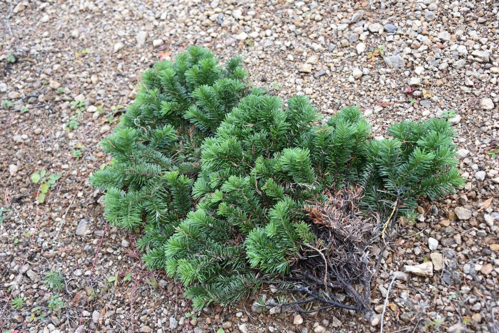 Abies amabilis 'Rock Star' newly harvested branch with scions for grafting
