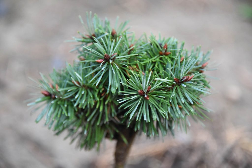 Pseudotsuga menziesii 'Sitting Pretty' new Doug fir broom cultivar, summer 2020